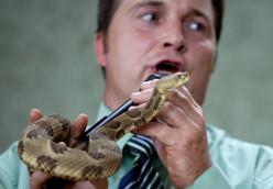 Timber rattler bites snake handler