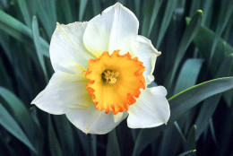 Another lovely daffodil