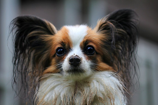 Papillon are inquisitive dogs.