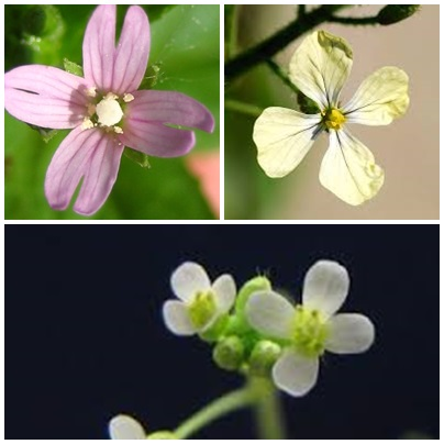 "The flowers of cruciferous plants look like little crosses; this is why they were named ""cross bearing""."