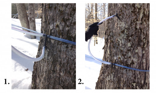 Tubing has made the process of collecting sap much easier. Barbara Lassonde shows how tubes are positioned on the tree until it is time to tap them.