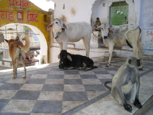 Pariah dogs in India are also used to being around other animals.