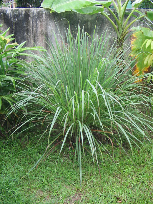 Here is a public domain image of a mature clump of lemongrass that the author will hopefully replace next summer :-)