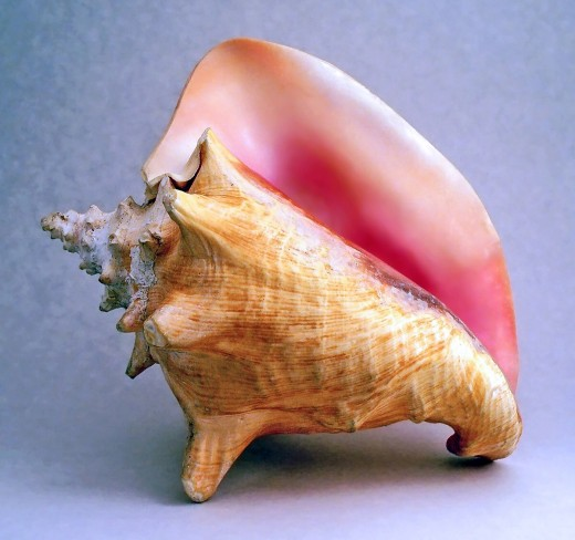 The shell of a queen conch