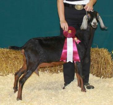 The 4H Goat Project is extremely popular.