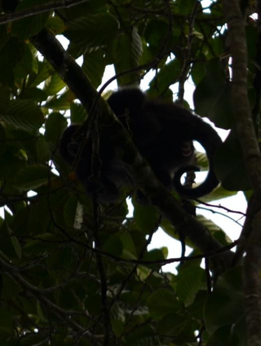 A spider monkey watches us
