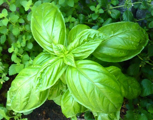 Each plant enhances the growth of the other. Basil and tomatoes are classic companion plants and a favorite culinary combo.