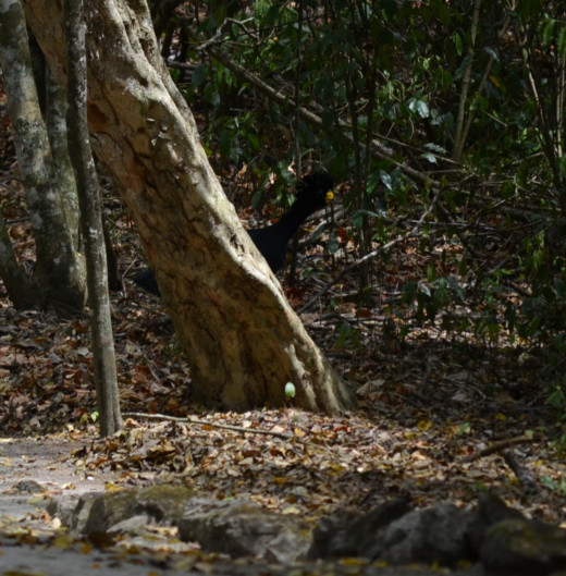 A curassow peaks fro behind a tree