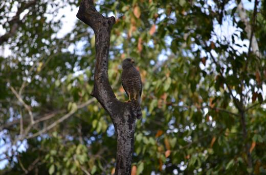 Hawk at Calakmul