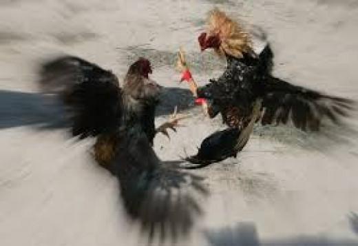 Cockfightg