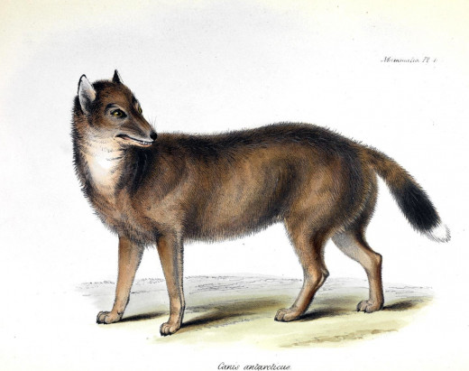 Illustration of the Falkland Islands wolf from the H.M.S. Beagle visit