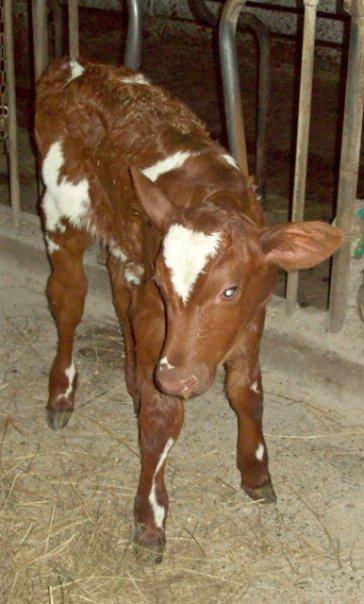 A newborn calf.