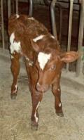 Feeding a Young Calf