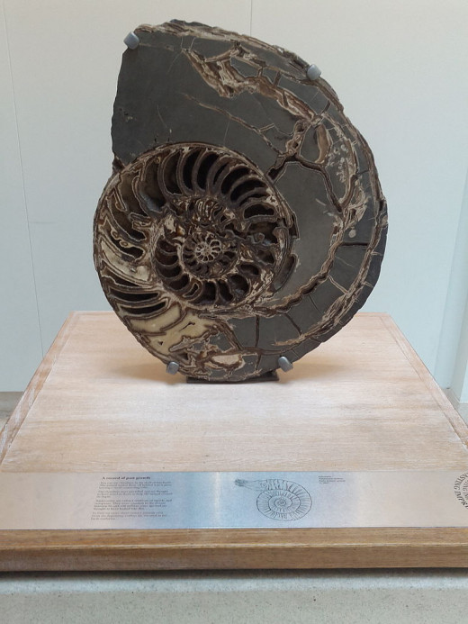 Ammonite fossil exhibited at the Natural History Museum.