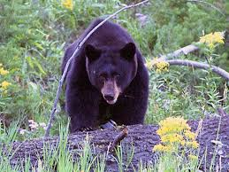 Black bear are plentiful in these mountain ranges