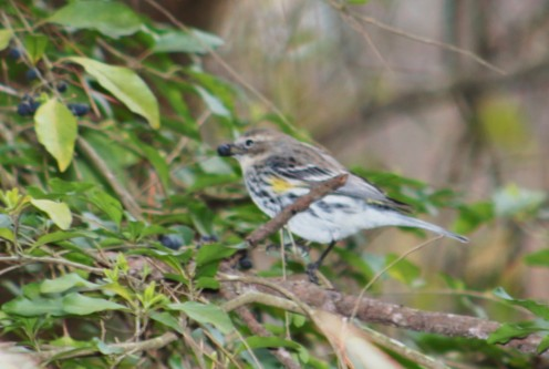 Yellow-rumped Warbler gathering Pokeweed berries.