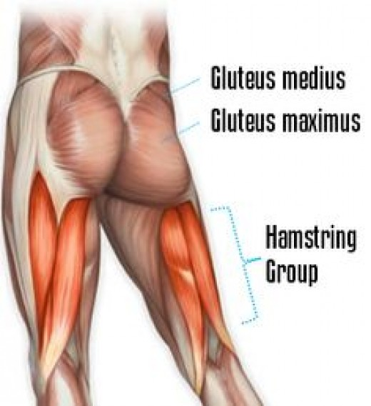 Colorful human anatomy poster showcasing Hamstring Muscles and Glute Muscles