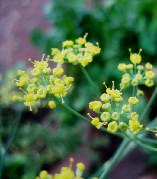 A Fennel umbra in full bloom. The flowers are small and not worthy of attention. The pollen however is another matter. This is collected and used for its mild anise flavor.