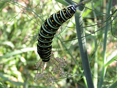 A Swallowtail type caterpillar feeding on the delicate Fennel foliage.
