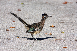 The Roadrunner Bird - Interesting Facts and Information