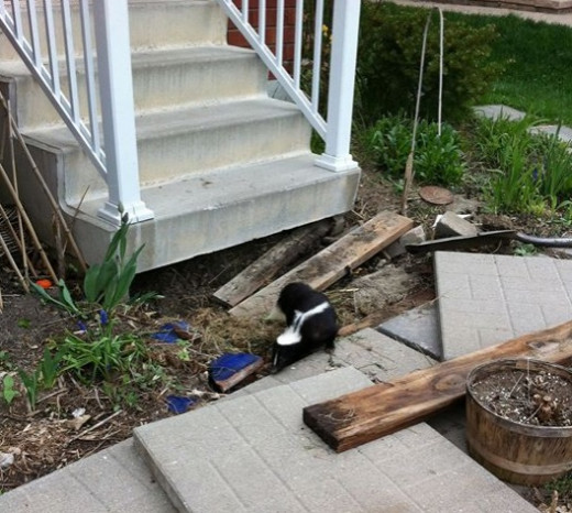 Skunk under the steps!