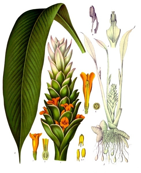 Here is a lovely graphic of the different parts of the growing Turmeric