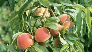 Peaches can be easy to grow if you get the right variety for your area
