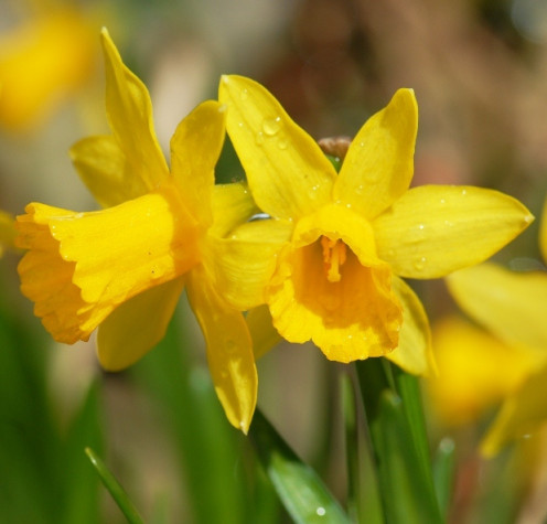Daffodils - the Ultimate Spring Flower