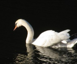 Swan looking for bread