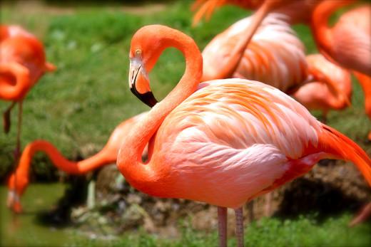 Pink Flamingo Invasion