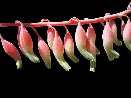 Aloe Flower Buds