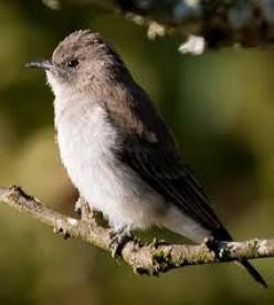 Brown-Backed Honey Bird