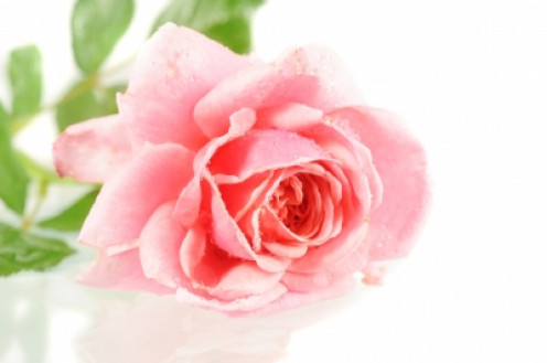 This is a rose, you want a CARNATION. This is just for visual purposes.