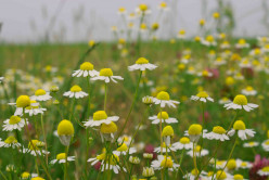 Can Camomile Cure?