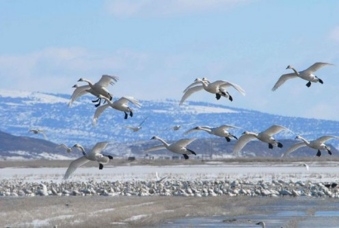 Swans in flight during winter migration by Menke Dave, U.S. Fish and Wildlife Service