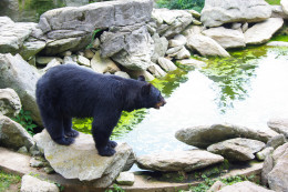 This black bear is relatively calm as it is in an enclosed sanctuary at Grandfather Mountain in North Carolina.
