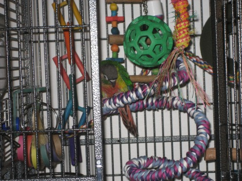 A juvenile pet Yellow-sided Green-cheeked Conure (also Sordid Conure and the Yellow-sided Conure) in good quality cage with toys and ropes.