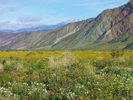 Spring wildflowers in the Borrego Valley