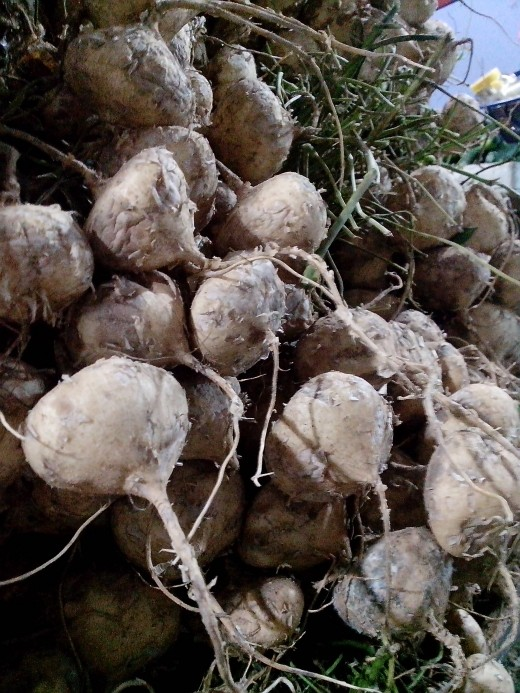 Photo Source: Ireno A. Alcala Singkamas or turnips