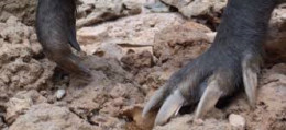 aardvark claws