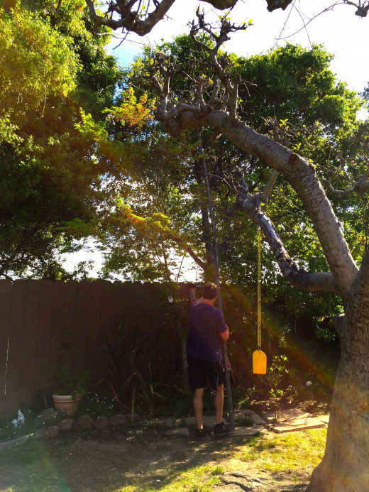 It was very hard to navigate this twenty foot pole through our garden, and even harder to get it up to the top of the tree where the drone was lodged.