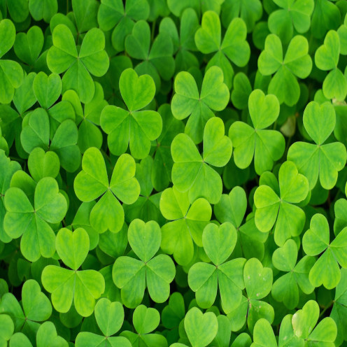 The symbolic Irish shamrock