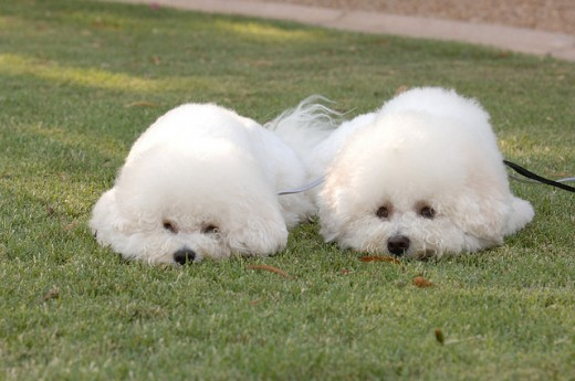 A pair of bichon frisés with haircuts fit for a show.