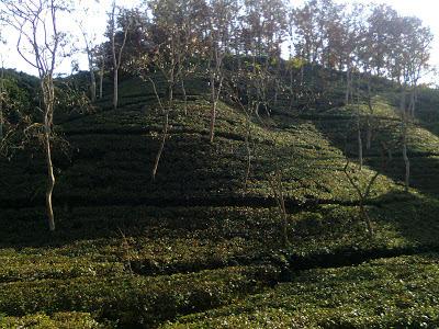 Tea garden in Sylhet, Bangladesh