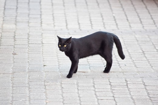Black cats have long been regarded as bad luck, especially if one crosses your path.