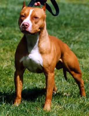 Pitbull dog similar to Trigger