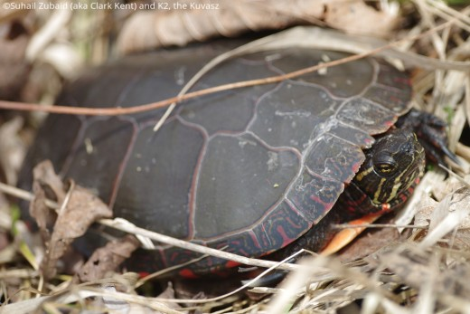 Wildlife like this painted turtle are frequently seen basking near waterbodies by April.