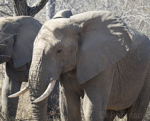 Seeing the powerful yet gentle African elephant is a great reason to visit Kruger. Photo: Di Robinson.