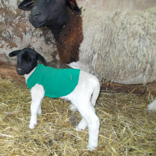 Lamb in a polar fleece coat.