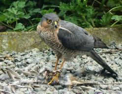 Sparrowhawk   { Birds of Europe }